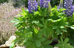 Lupin Mini Gallery